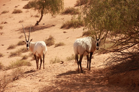 Oryxes seen in Ras al Khaima